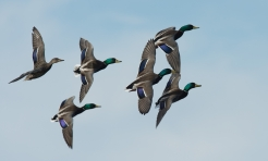 Mallards, photo by Fred Greenslade